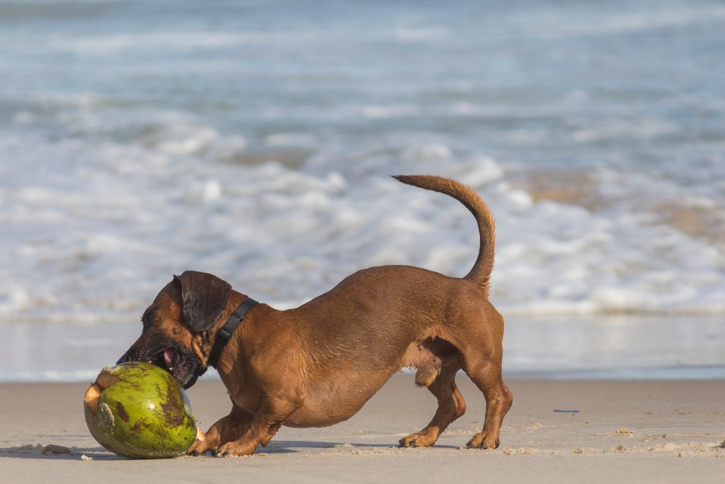 Pacfic-Breeze-Coconut-Dog-on-a-Beach
